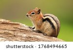 Rocky Mountain Chipmunk Found...