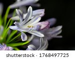 Blooming Of Agapanthus ...