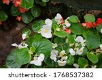 Buds Of Blooming Begonia In Th...