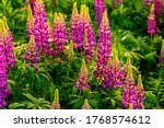 Purple Lupins On A Field At...