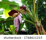 Closeup   Banana Cabbage On...