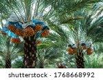 date palm fruit  fresh fruit... | Shutterstock . vector #1768668992