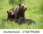 Brown Bear Ursus Arctos  Family ...