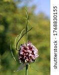 Allium Vineale  Crow Garlic....
