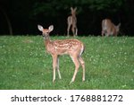 Whitetailed Deer Fawn In...