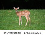 Whitetailed Deer Fawn Standing...