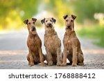 Three Irish Terrier Dogs...