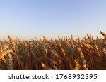 Golden Ripe Ears Of Wheat In A...