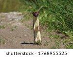Least Weasel  Mustela Nivalis ...