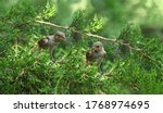 A Pair Of Sparrow Chicks On...