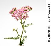 Yarrow. Pink Inflorescence Herb ...