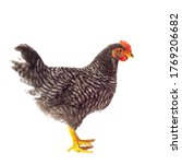 Barred Plymouth Rock Hen...