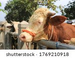 Many Cattle   Sapi   Are Sold...