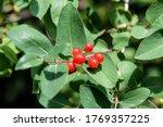 Red Elder Berries On Green Leaf ...