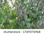 leonurus cardiaca plant. mother ... | Shutterstock . vector #1769376968