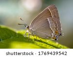 Purple Hairstreak  Neozephyrus...