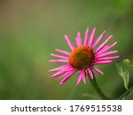 Close Up Of A Pink Coneflower ...