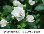 Bush White Blooming Rose....