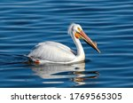 An American White Pelican Swim...