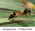 Potter Wasps  The Eumeninae ...