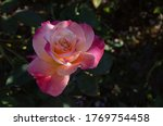 "Pink Rose ""abracadabra"" In Ful..."