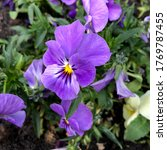 Macro Photo Viola Flower. Stoc...