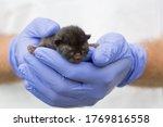 Newborn Kitten In Hand.  A...