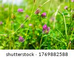 Closeup Of Pink Red Clover Wil...