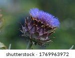 Cardoon Blooming Close Up Photo ...