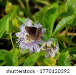 Northern Cloudywing  Thorybes...