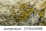 Texture Of A Yellow Lichen On ...