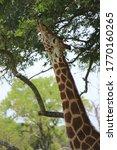 African Giraffe Stretching Neck ...