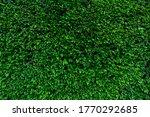 Closeup Evergreen Hedge Plants. ...