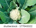 Fresh Cauliflower  Vegetables...