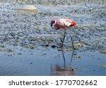 Beautiful Flamingo Walks Along...