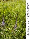 Ilut   Lithuania   Tall Grass...