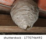 Wasps Nest And Wasps On The...