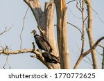 Two Black Vultures Survey A...