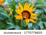 Gazania Flower Or African Dais...