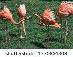 Action Shot Of Flamingos...