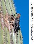 Cactus Wrens Nesting In Saguar...