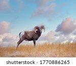 Bighorn Sheep Ram   Ewe In...