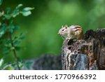 Chipmunk Sitting On A Tree Stump