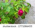 Red Beautiful Garden Rose  Rosa ...