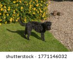 Black Male Schnoodle Dog...