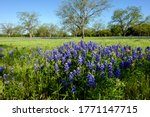 Texas Bluebonnets Blooming At...