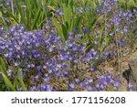 Carpet Of Bright Blue Summer...