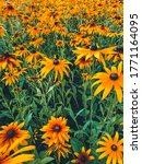 Bright Rudbeckia Flowers In The ...