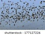 flock of lapwing   vanellus... | Shutterstock . vector #177127226