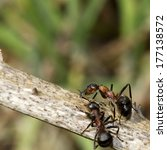 Wood Ants  Formica Rufa  On A...